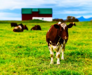 Horizontal vivid Norwegian cow on the field background backdrop